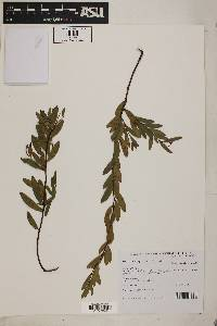 Image of Acacia multisiliqua