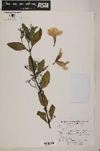 Ruellia tuberosa image