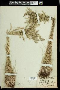Festuca ovina image