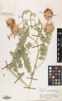 Image of Astragalus echinops