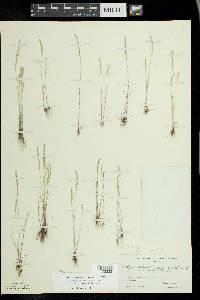 Vulpia octoflora var. octoflora image