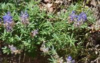 Lupinus hillii image