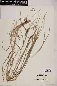 Image of Cenchrus montanus