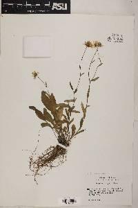 Erigeron arizonicus image