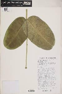 Asclepias lemmonii image