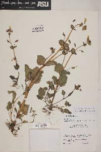 Image of Erythranthe cordata