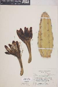 Image of Cereus childsii