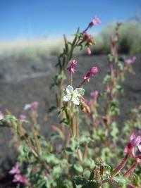 Image of Camissonia gouldii