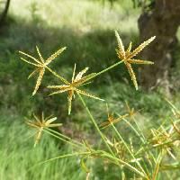 Image of Cyperus amabilis