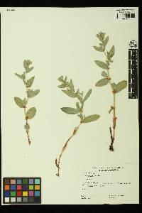 Image of Aconogonum davisiae