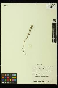 Galium grayanum image