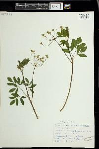 Taenidia integerrima image