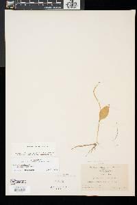 Ophioglossum vulgatum image