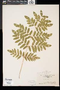 Osmunda regalis subsp. spectabilis image