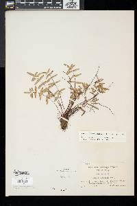 Pellaea glabella image