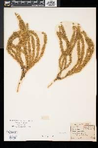 Spinulum annotinum subsp. annotinum image