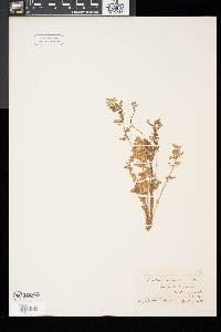 Erodium cicutarium image
