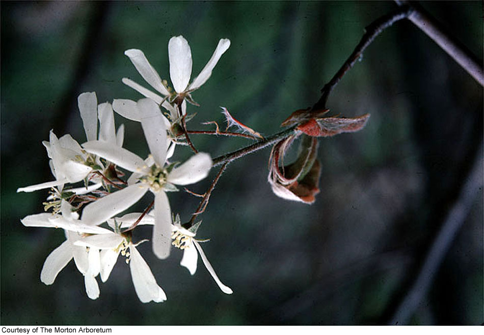 Amelanchier interior image