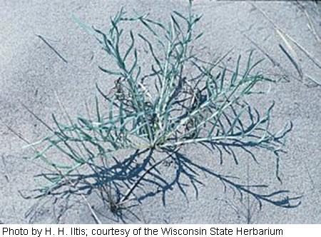 Cirsium pitcheri image