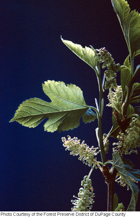 Moraceae image