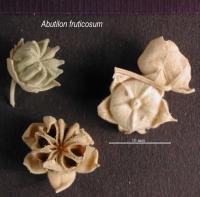 Image of Abutilon fruticosum