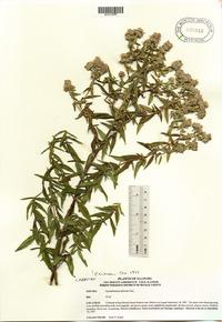 Pycnanthemum pilosum image
