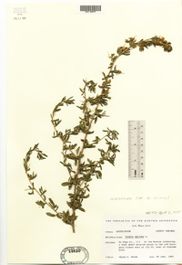 Ononis spinosa image