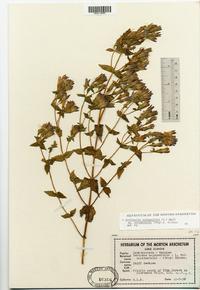 Gentianella quinquefolia subsp. occidentalis image