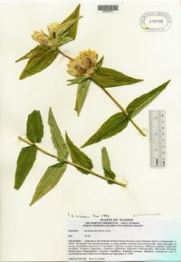 Gentiana flavida image