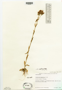 Centaurium erythraea image