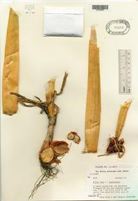 Allium cepa image