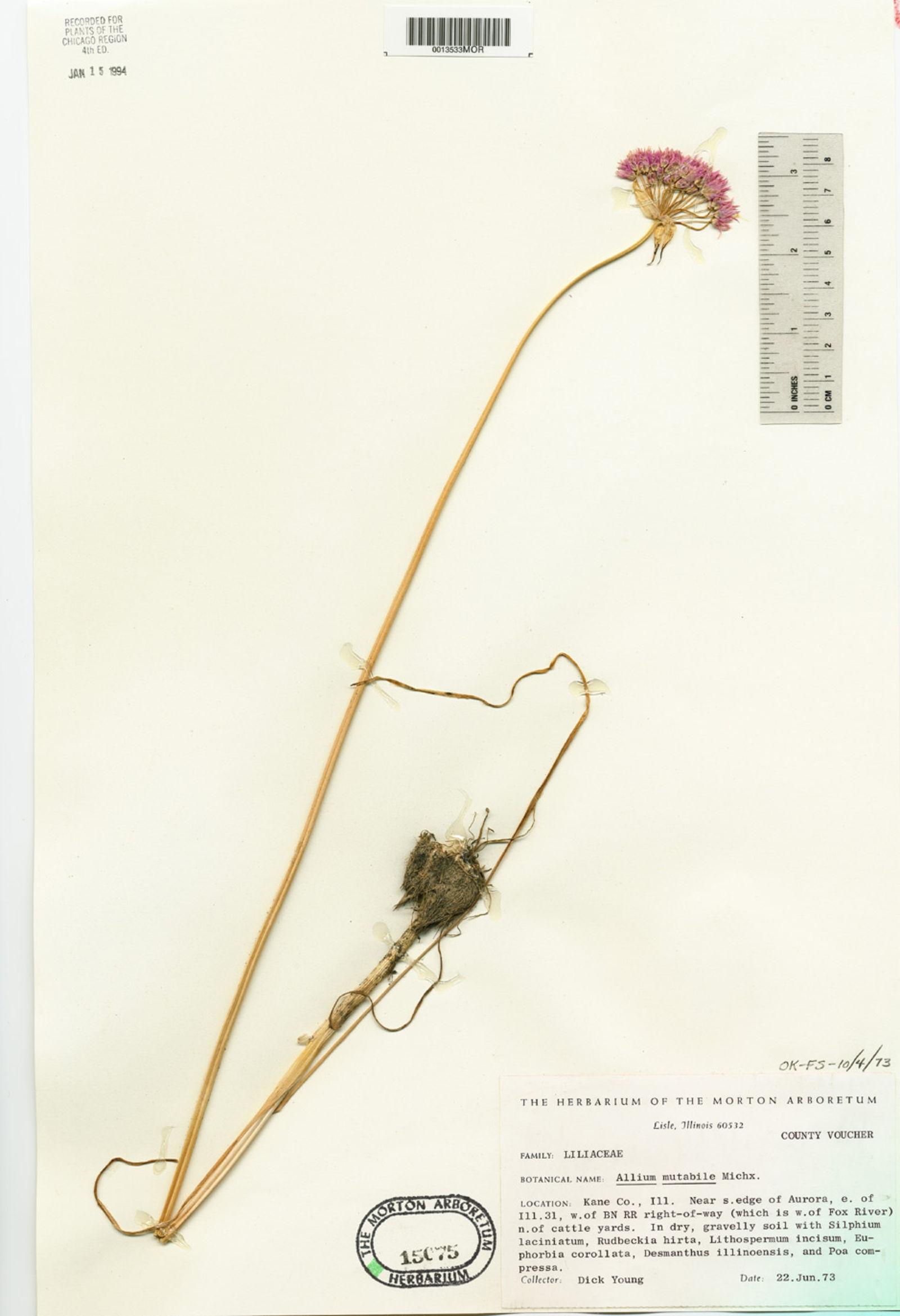 Allium canadense var. lavandulare image