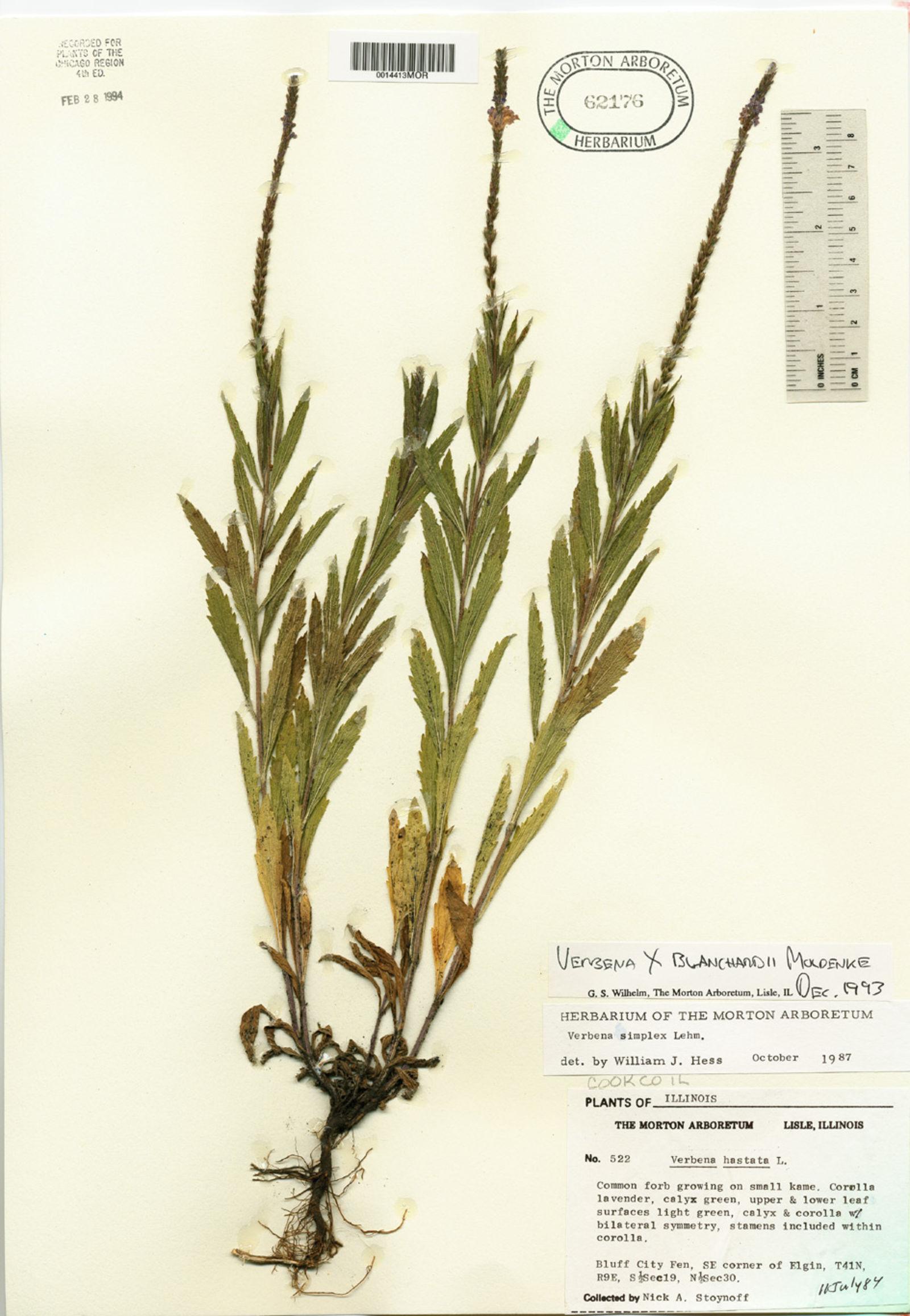 Verbena x blanchardii image