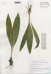 Allium burdickii image