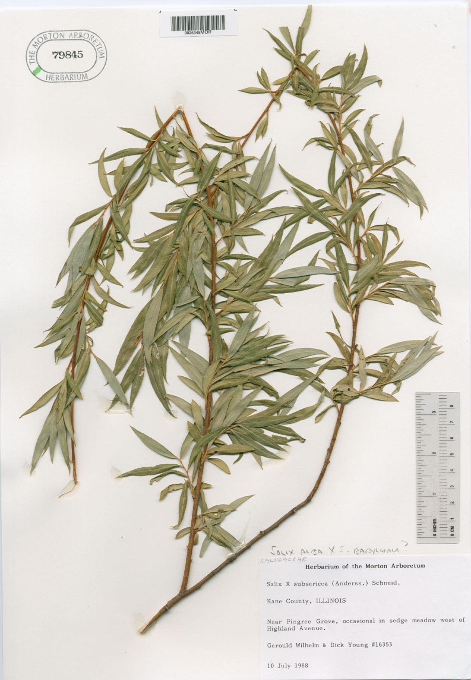 Salix x subsericea image
