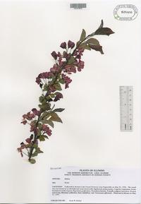 Malus x purpurea image
