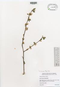 Prunus tomentosa image