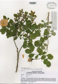 Rosa centifolia image