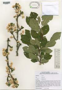 Prunus domestica image