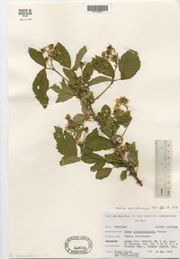Rubus abactus image
