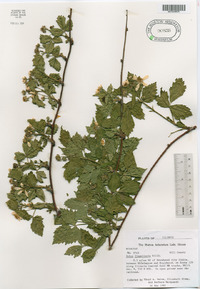 Rubus curtipes image
