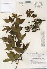 Rubus × avipes image