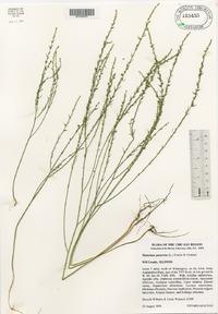 Thymelaea passerina image