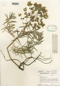 Image of Euphorbia × pseudoesula