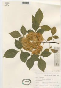 Ptelea trifoliata subsp. trifoliata image