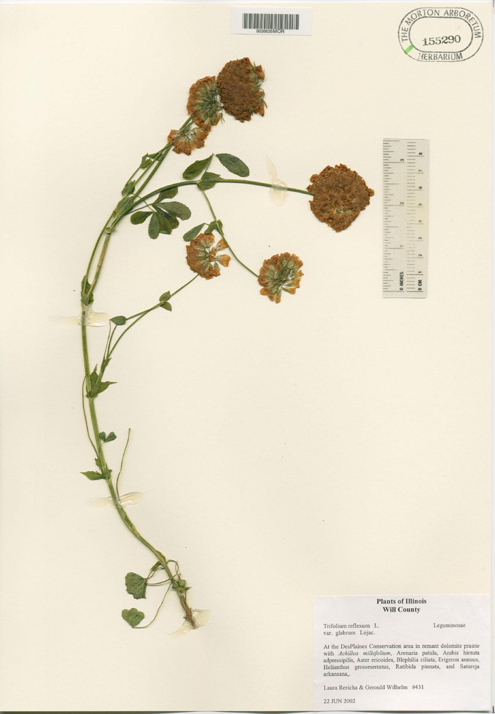 Trifolium reflexum var. glabrum image