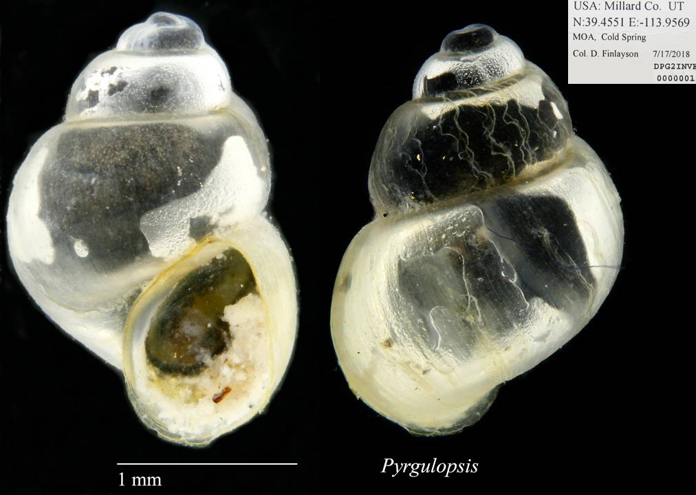 Hydrobiidae image