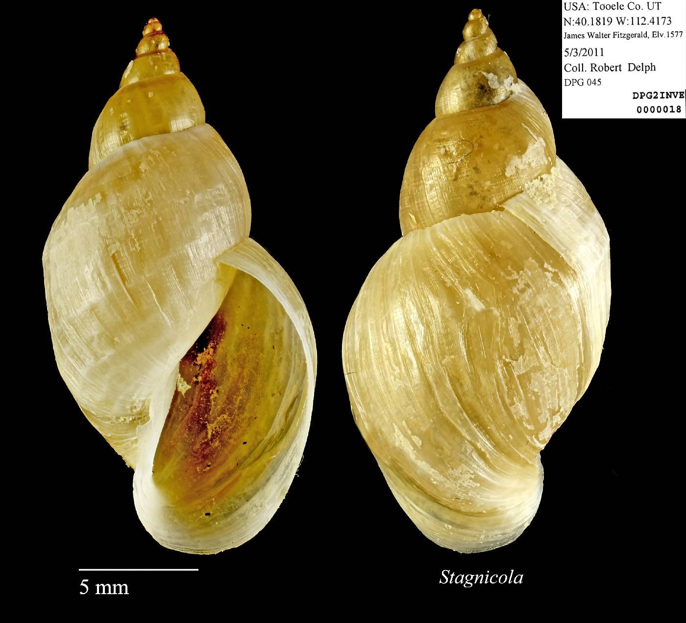 Lymnaeidae image