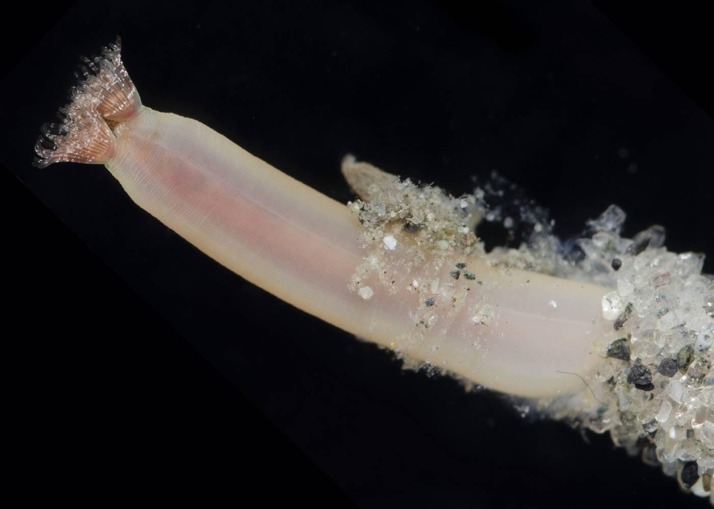Phoronidae image