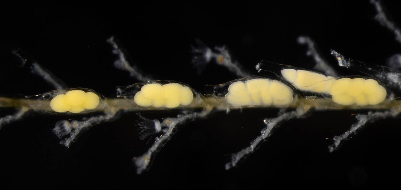 Plumularia setacea